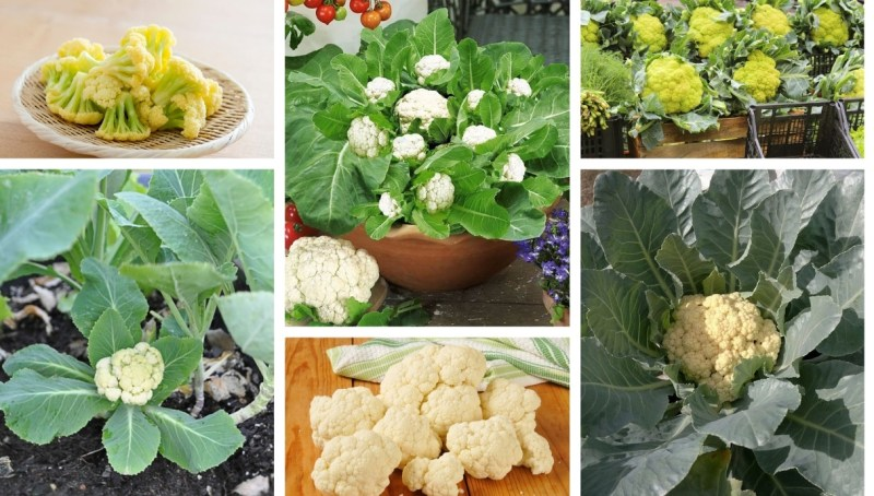9 secrets for planting and growing cauliflower in your garden