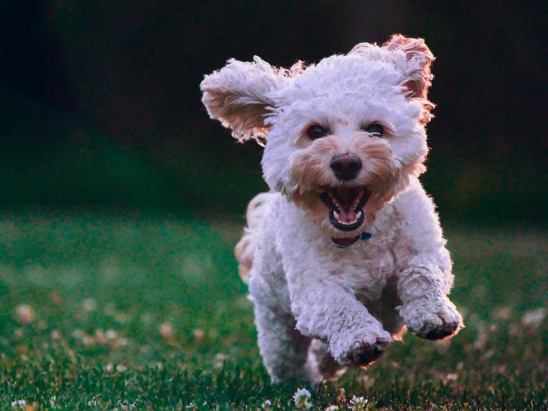 Alimentacion equilibrada para un perro feliz y con energia con nuestro pienso mydogcares