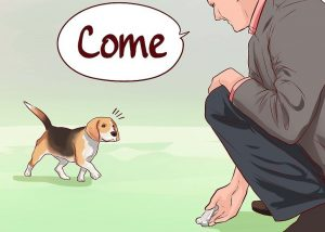 beagle puppy training