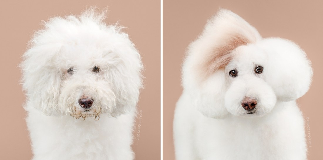 Athena_grace_chon_HAIRY_before_after_japanese_grooming_01.jpg