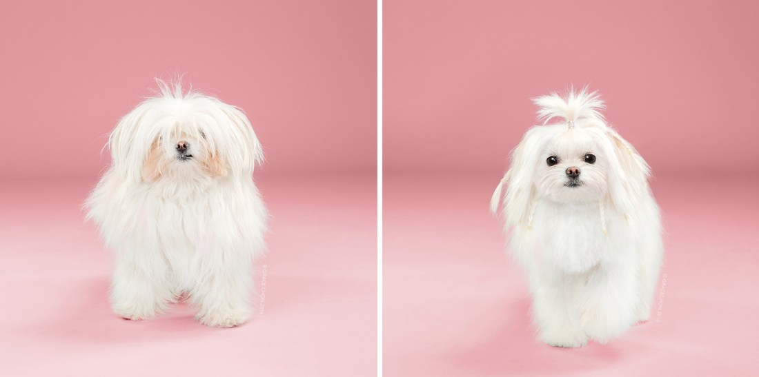 Yuki_grace_chon_HAIRY_before_after_japanese_grooming_01.jpg