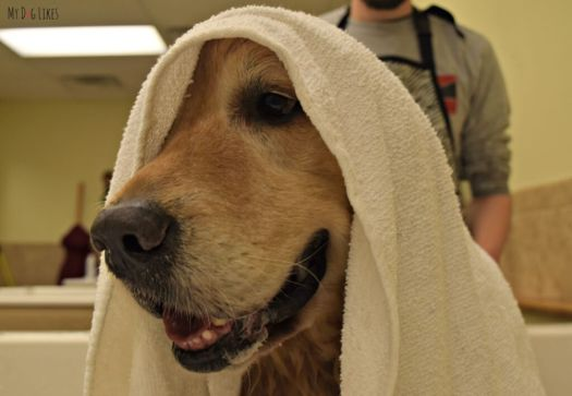 Giving Harley a towel dry at PetSaver Superstore's self wash stations in Rochester, NY.
