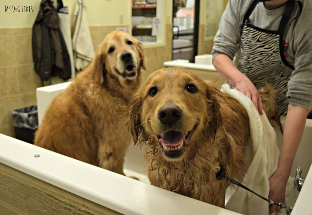 Harley jumped into the dog bath tub while we were giving Charlie a bath!
