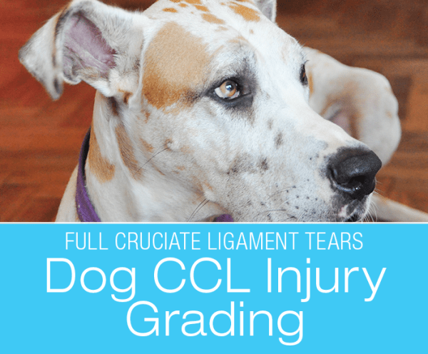 Talk To Me About Dog ACL/CCL Injuries: Injury Grading