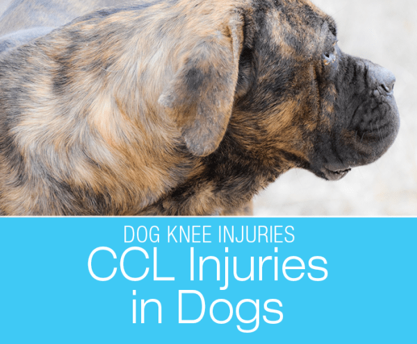 Talk to Me About Dog Arthritis: CCL Injuries