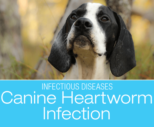 Canine Heartworm Infection: Don't Let Heartworm Become A Heartbreak!