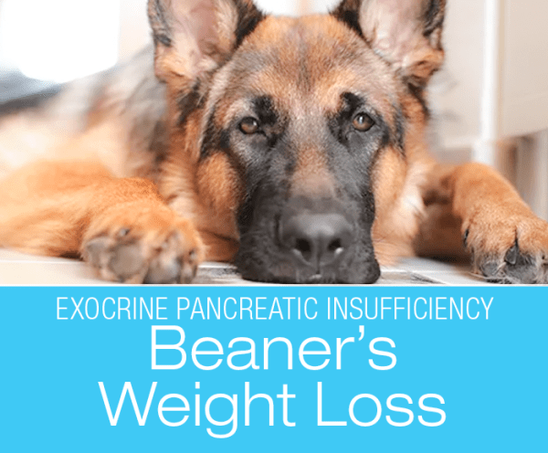 Exocrine Pancreatic Insufficiency in Dogs: Weight Loss, Brittle Fur, Starving All The Time ... Beaner's Story
