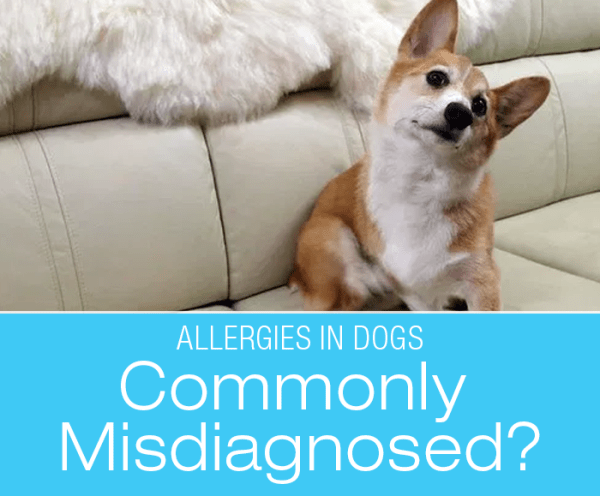 Allergies in Dogs: Common, Commonly Misdiagnosed, or Both?