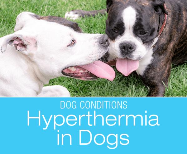 Hyperthermia in Dogs: Heatstroke Is No Light Matter!
