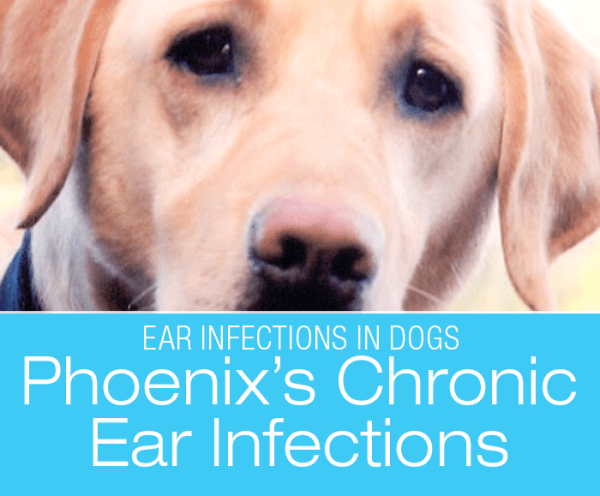 Chronic Ear Infections in Dogs: What You Need to Hear