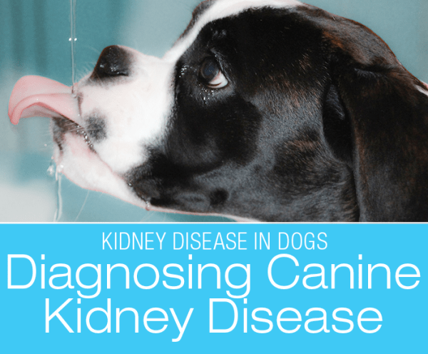 Signs and Diagnosis of Kidney Disease: Is Your Dog Showing Signs Of Kidney Disease?