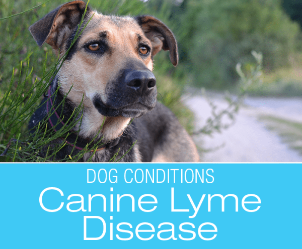 Canine Lyme Disease: Treating Lab Results Versus Treating The Dog