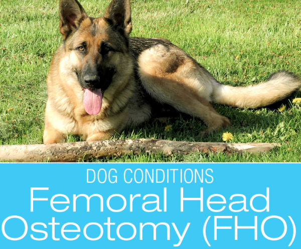 Canine Femoral Head Osteotomy: Great (Or Not So Great) Expectations with (FHO)