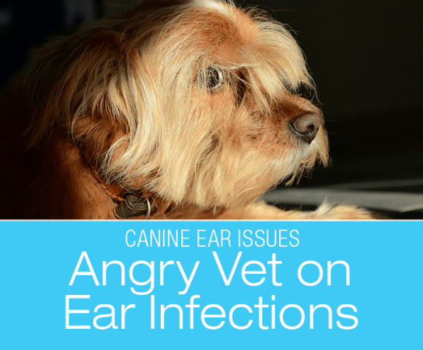 Angry Vet On Ear Infections: Deciphering Ear Problems in Dogs