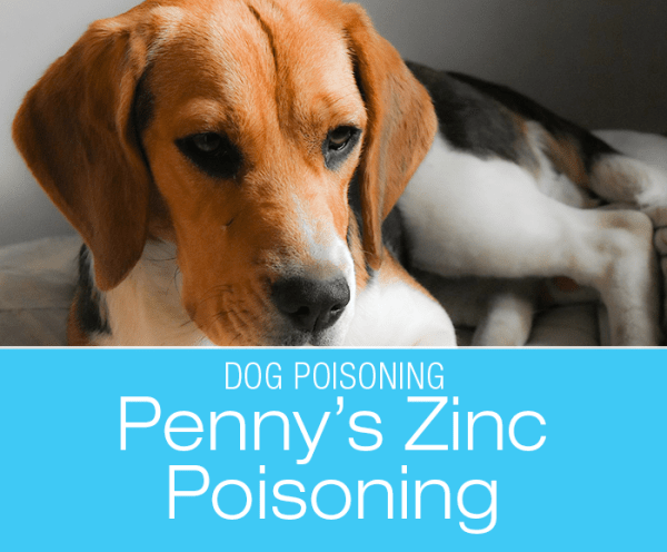 Zinc Poisoning in Dogs: Count Your Change—Penny's Story