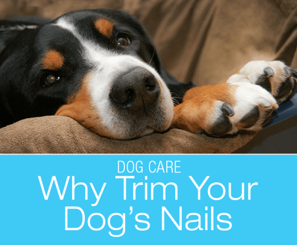 The Importance of Nail-Trimming: What's The Most Common Problem I See In My Canine Patients?