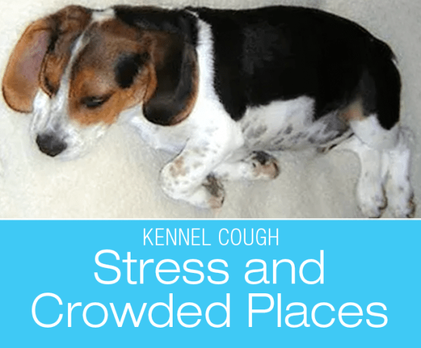 How Dogs Get Kennel Cough: Stress And Crowded Places Might Mean Kennel Cough
