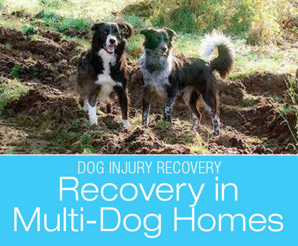 Managing Recovery in Multi-Dog Homes: Exercise And Injuries In A Multi-Dog Household—Rodrigo's Limp