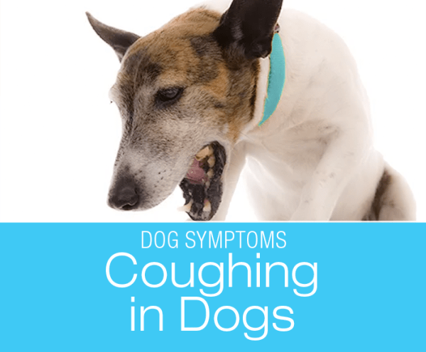 Coughing in Dogs: Why Is My Dog Coughing?