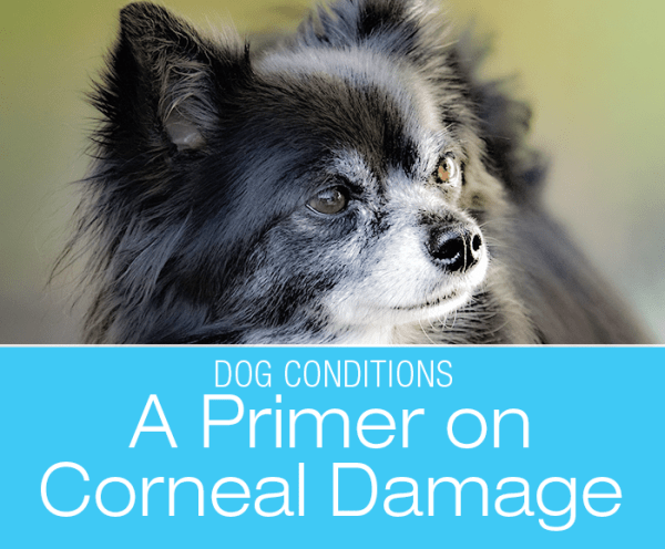 """A Primer On Corneal Damage in Dogs: Dogs with """"pushed-in"""" faces and bulging eyes are especially at risk."""