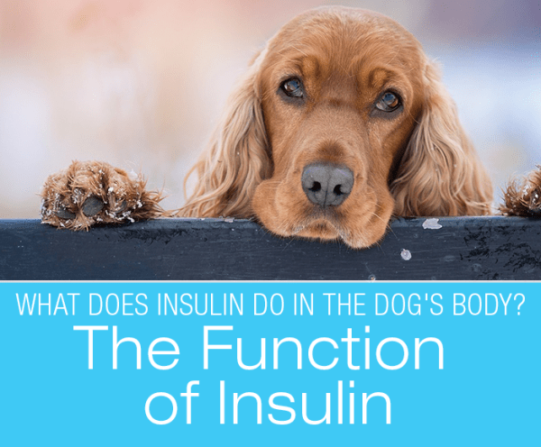 The Function of Insulin: What Does the Hormone Do In The Dog's Body?