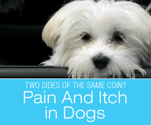 Pain And Itch in Dogs: Are They Two Sides Of The Same Coin?