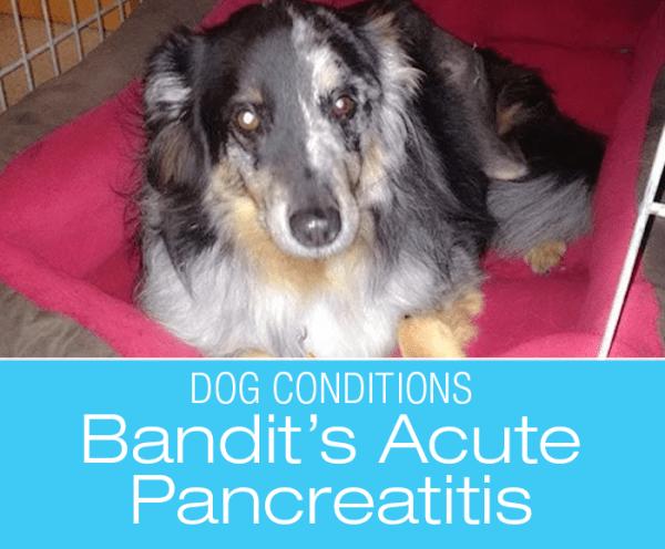 Severe Acute Pancreatitis in a Dog: Bandit's Last Treat
