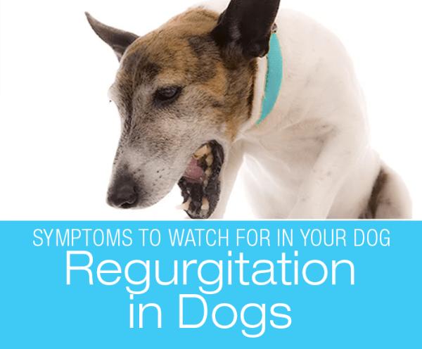 Regurgitation in Dogs