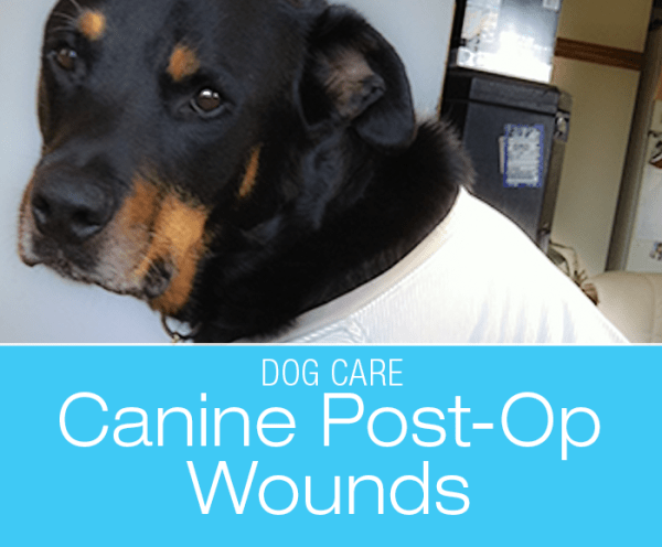 Canine Post-Op Wounds: Taking Care of JD's Wounds
