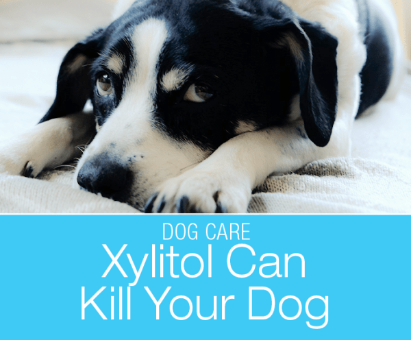 Xylitol Can Kill Your Dog: Know Where It Can Be Hiding Xylitol Can Kill Your Dog: Xylitol vs. Chocolate toxicity infographic