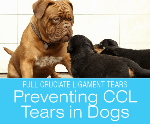 Preventing CCL/ACL Tears in Dogs: How to Keep Your Dog from Busting Their Cruciate Ligament