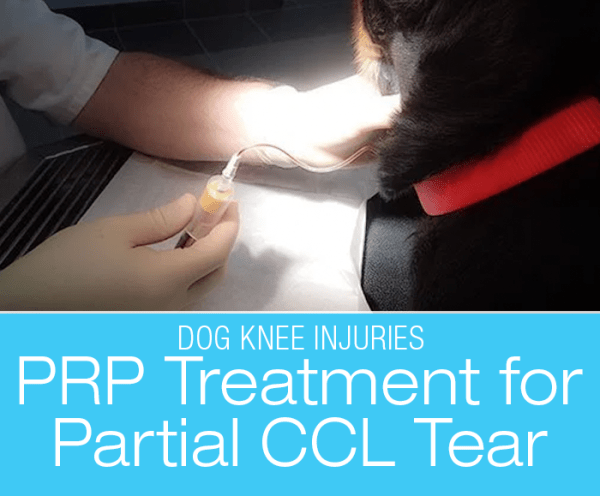 PRP Treatment for CCL Injury: Platelet-Rich Plasma (PRP) Treatment for Cookie's Bad Knee(s)