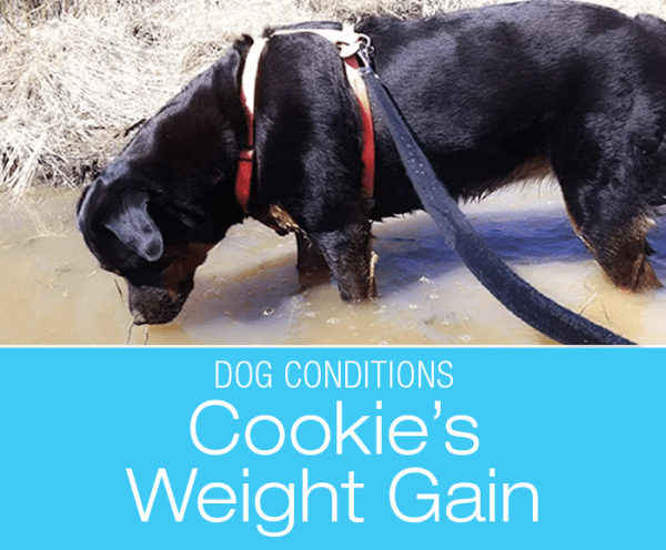Unexplained Weight Gain In Dogs: Is Your Dog Struggling with Weight in spite of Diet and Exercise? Cookie Is Hypothyroid