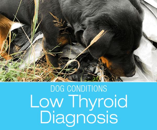 Canine Hypothyroidism Diagnosis: Cookie is Hypothyroid