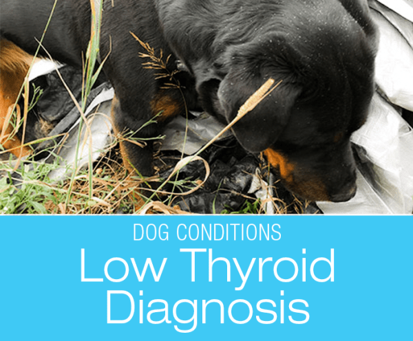 Canine Hypothyroidism Diagnosis: Cookie is Hypothyroid