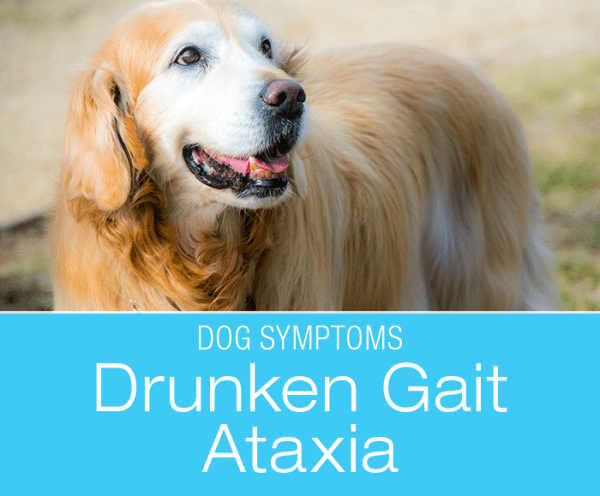 Drunken Gait/Ataxia in Dogs: Why Is My Dog Stumbling Around?
