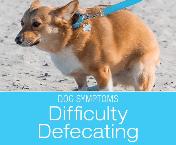 Difficulty Defecating in Dogs: Why Is My Dog Straining to Poop?