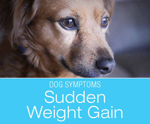 Sudden Weight Gain in Dogs: Why Has My Dog Expanded in Front of My Eyes?