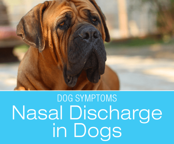 Nasal Discharge in Dogs: What Is The Goop Running out of My Dog's Nose?