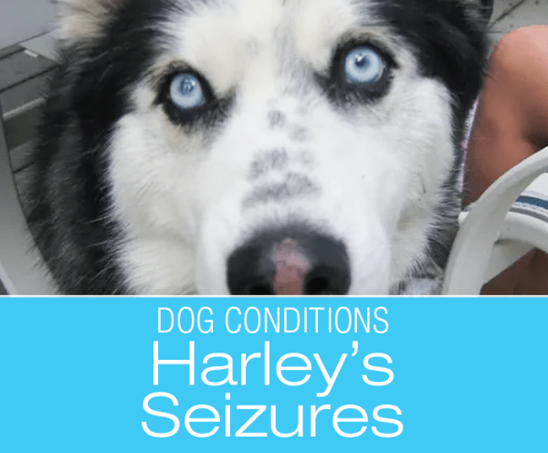 Senior Canine Seizures: Harley's Story