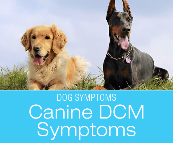 Canine DCM Symptoms: What Would Dilated Cardiomyopathy (DCM) Look Like in Your Dog?