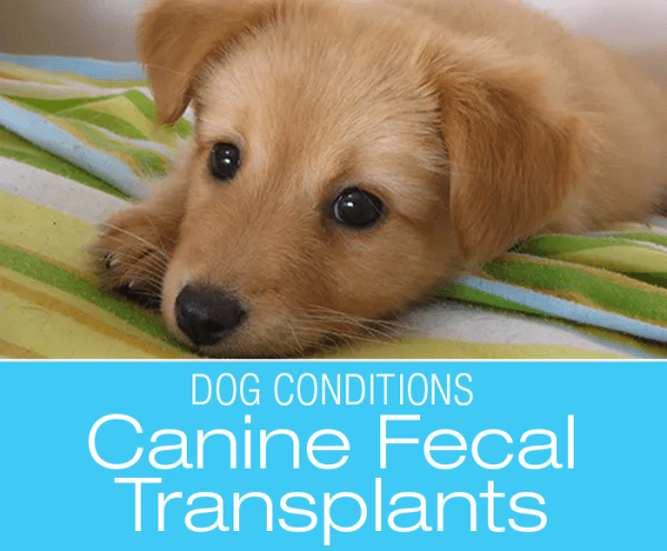 Canine Fecal Transplants: Fecal Transplant Saves A Puppy Dying from Parvo: Felix's Story