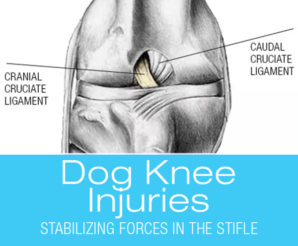 Canine Cranial Cruciate Ligaments: Hanging by a Thread? Stabilizing Forces in the Canine Stifle