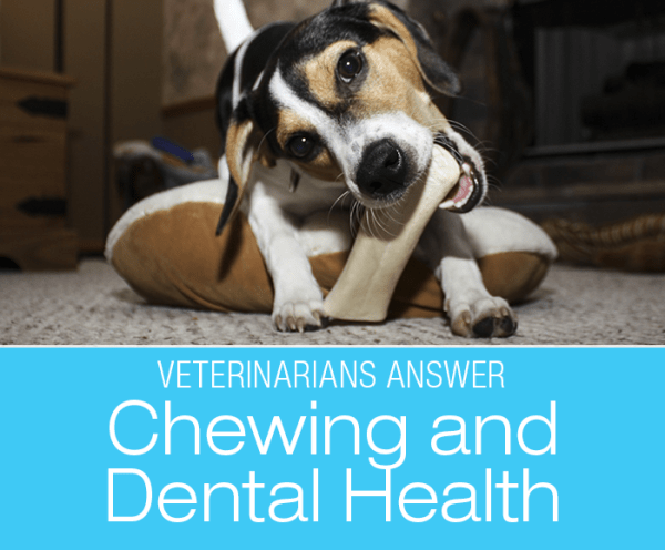 Canine Dental Health: Veterinarians Answer Whether Chewing Promotes Dental health