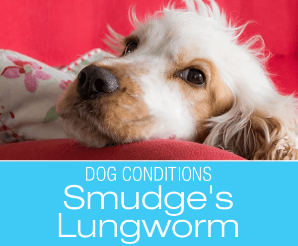 Lungworm Infection in Dogs: It's not always Kennel Cough--Smudge's Lungworm Infection