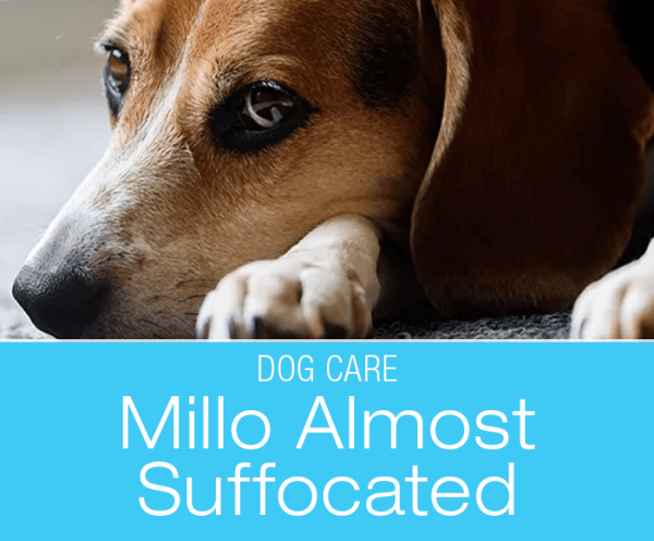 Chip Bag Suffocation in Dogs: Milo Survived what many Dogs Don't: #Preventpetsuffocation