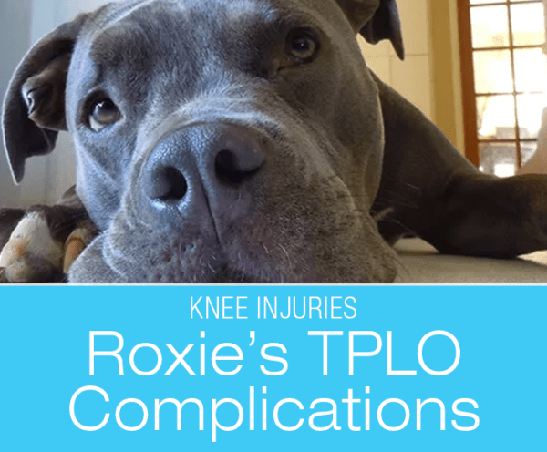 TPLO Surgery Complications: Dog Knee Injuries— Roxie Broke Her Bone at TPLO Plate