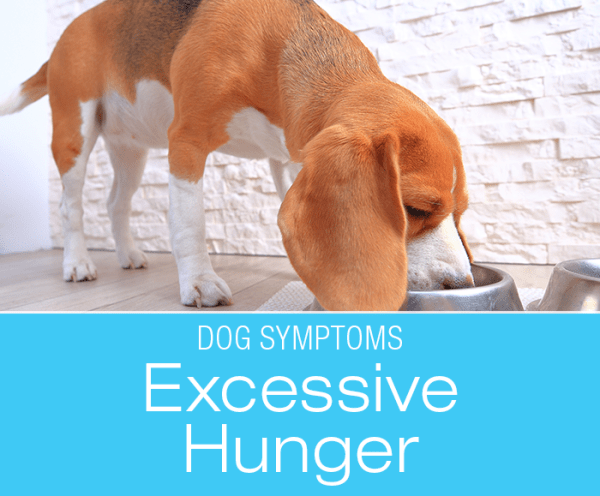 Excessive Hunger in Dogs: What If Your Dog Acts Like They're Starving?