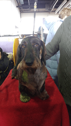 143rd Westminster Dog Show: Dachshunds