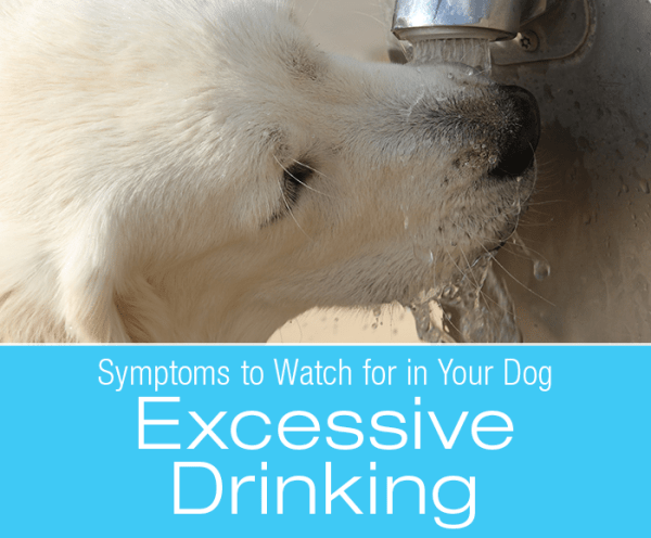 Symptoms To Watch For In Your Dog: Excessive Drinking (Polydipsia)
